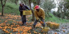 Facing tighter pesticide restrictions, Italian fruit growers hope biotechnology can help protect their orchards