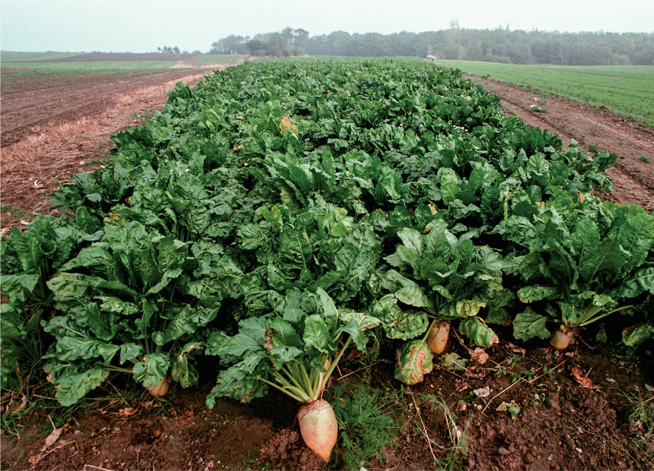 French court upholds sugar beet grower exemption from neonicotinoids insecticide ban