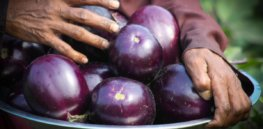 Bowing to political pressure, India scraps plans to trial GM, insect-resistant, Bt eggplant