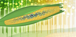CRISPR 'super corn' with more kernels could reduce land, fertilizer and water use