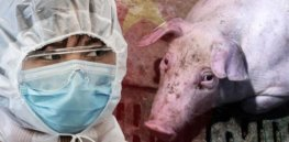 Gene editing could yield swine flu-resistant pigs, cutting the risk of another pandemic