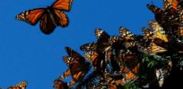 'No shortage of dangers' and no easy answers for the monarch butterfly
