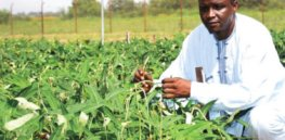 GM, insect-resistant, Bt cowpea could generate more than $638 million for Nigeria over next six years