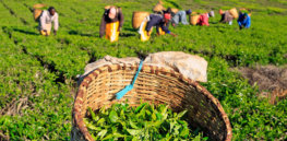 Gene editing could help Kenya's valuable tea crop retain its competitive edge