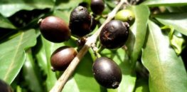 'Future proofing': Rediscovered wild coffee species could protect against production drops caused by climate change