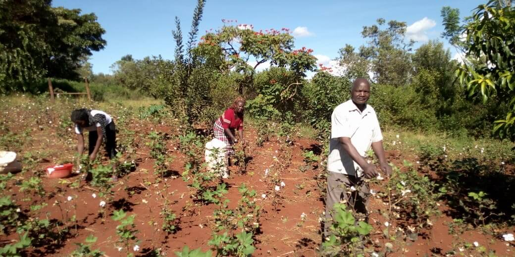mugo magondu picks bt cotton in his kirinyaga farm