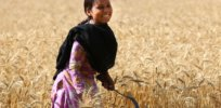 Zinc-fortified wheat set to boost access to essential mineral for millions of poor people