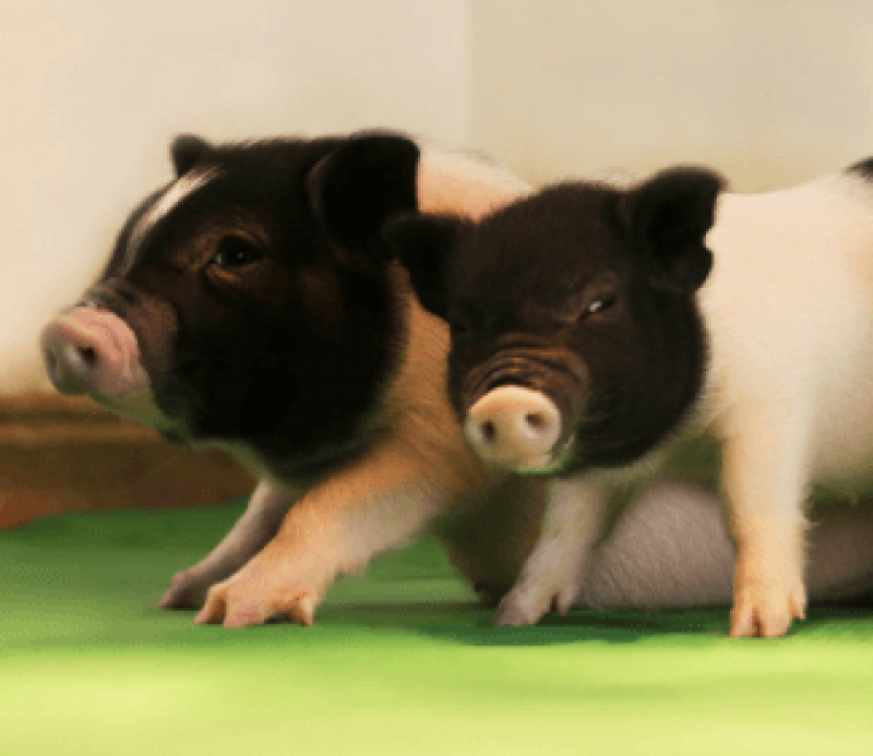 Two of the three piglets born without PERVs. Pigs like this could one day supply virus-free organs to transplant patients.
