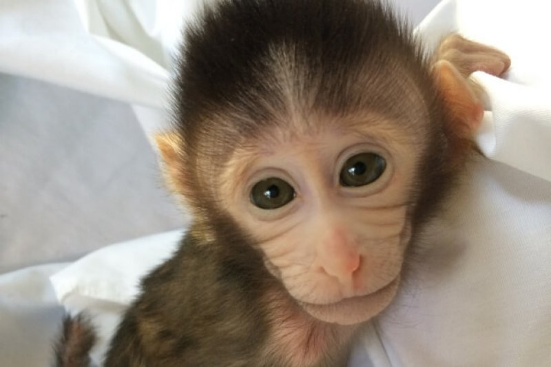 A macaque with autism-like symptoms in the laboratory. [Credit Yan-Hung Nie]