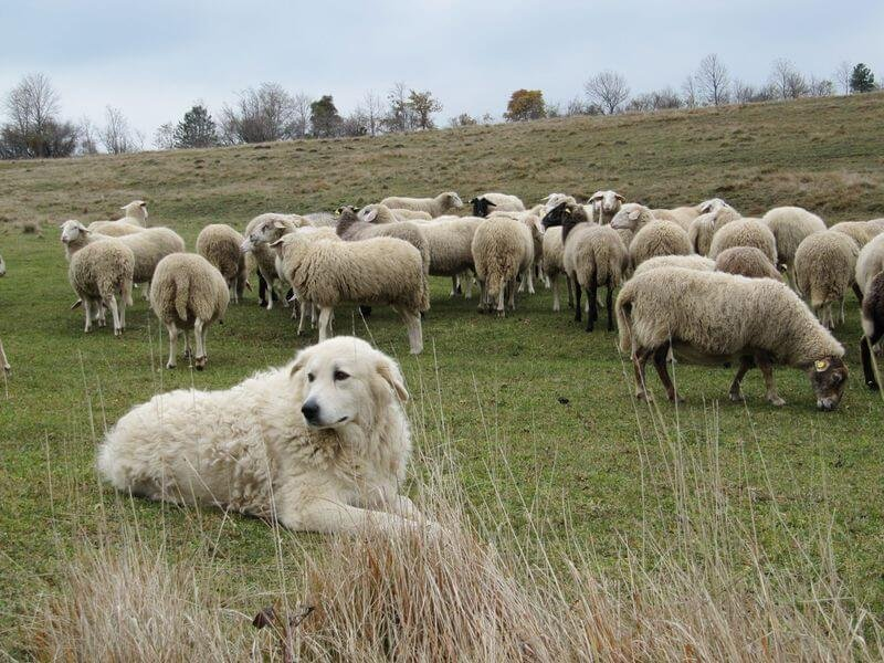 sheep dog