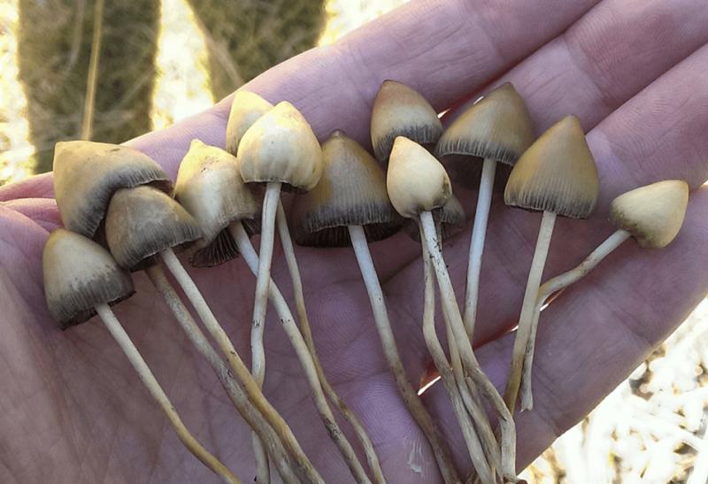 psilocybin magic mushrooms