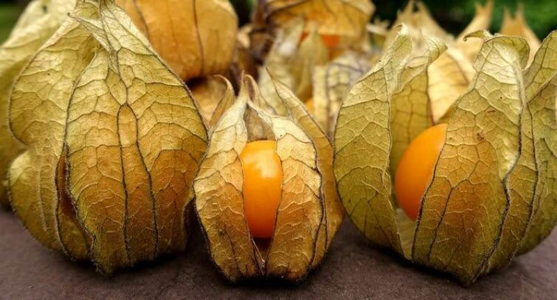Gene-edited Ground cherry could be a new berry crop. Image: Pixabay/Alexas_fotos
