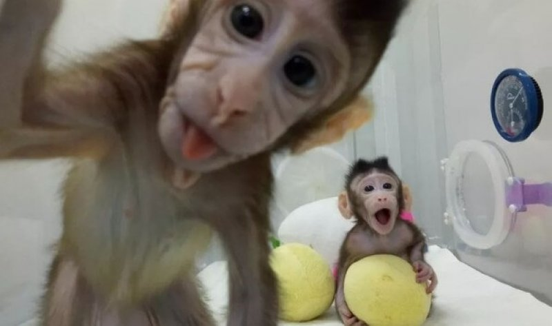 Two genetically identical cloned monkeys play in their incubator in Shanghai, China. Image credit: QIANG SUN AND MU-MING POO/CHINESE ACADEMY OF SCIENCES