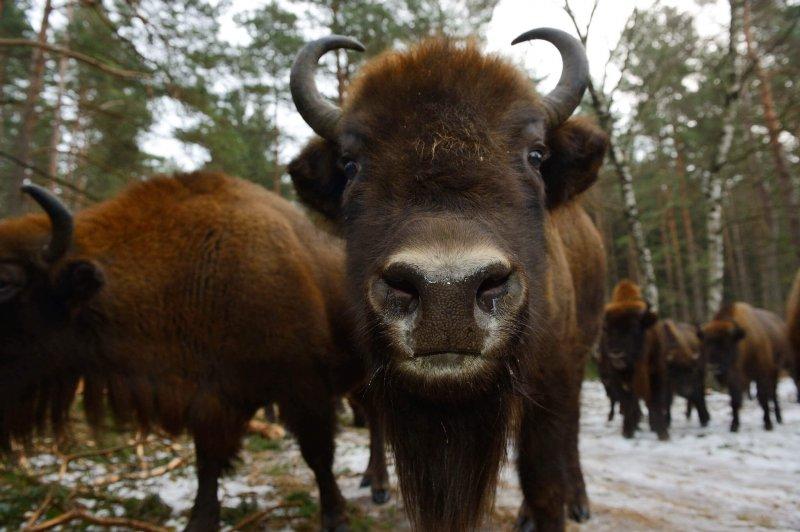 European bison. Image credit: Mes Sorties Culture