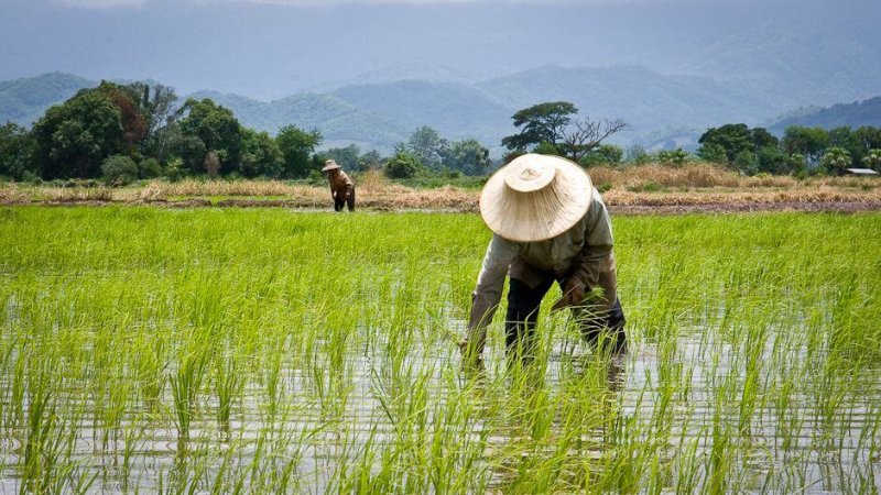 thailands rice farmers