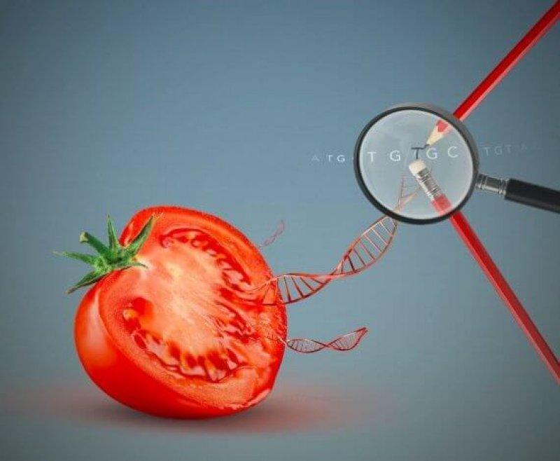 cfd e fca c d fc b a a e cf a be a b d tomaat genome editing bc c e x ccc x
