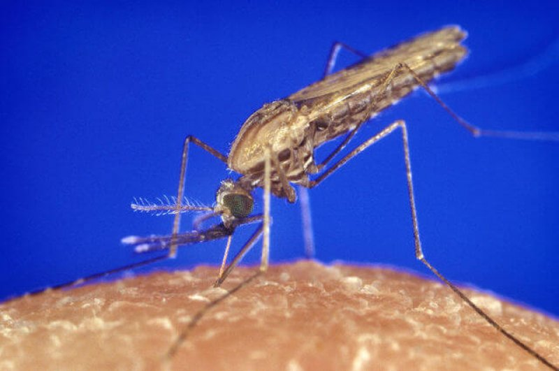 px Anopheles gambiae mosquito feeding p lores