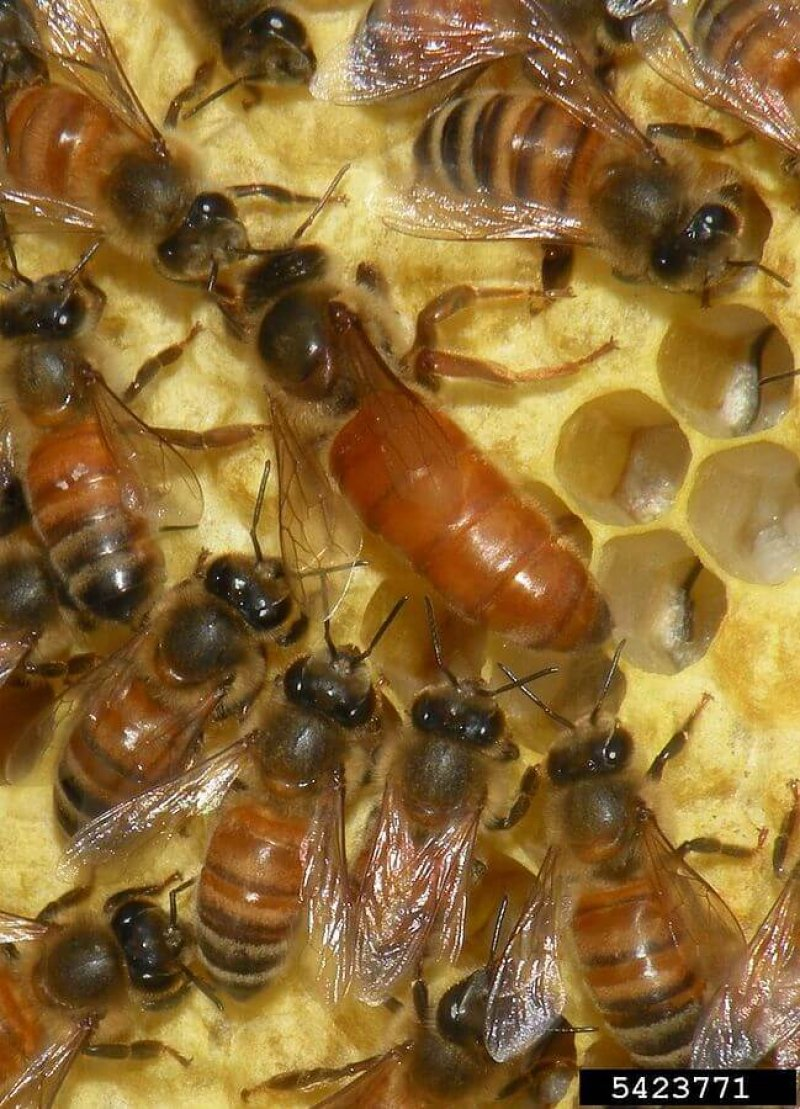 px Apis mellifera queen and workers