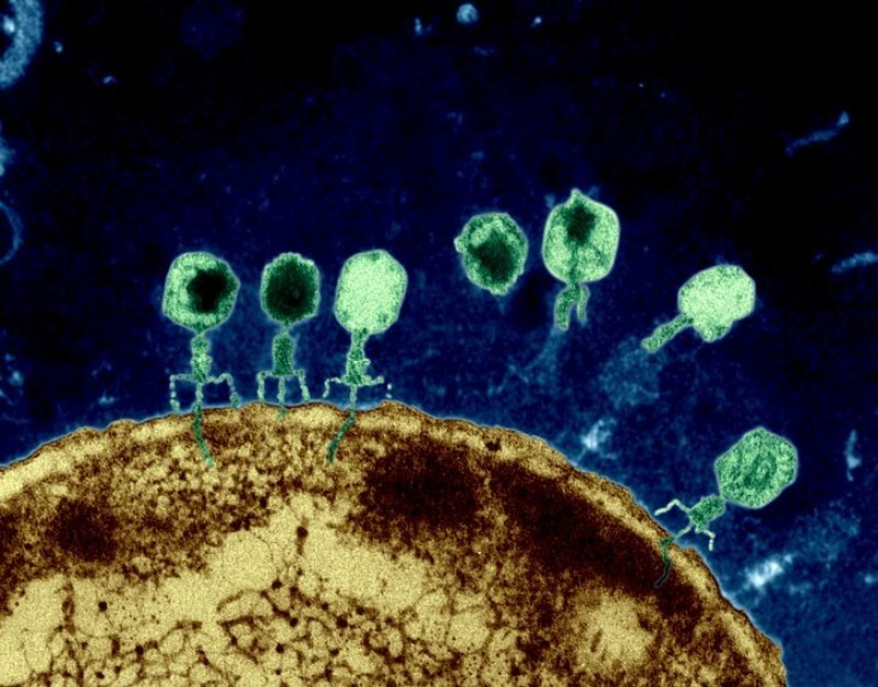 Twilley phages