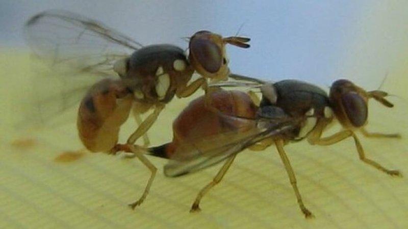 Genetically modified olive flies. Via BBC