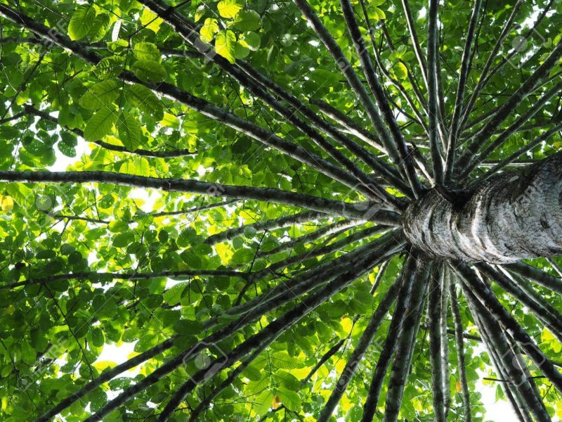 giant tree wild cinchona at kaeng krachan national park thailand