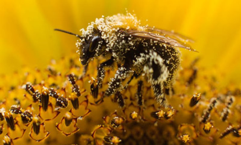 A bee collects pollen fro