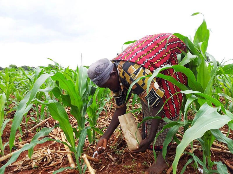 Applying fertilizer on maize