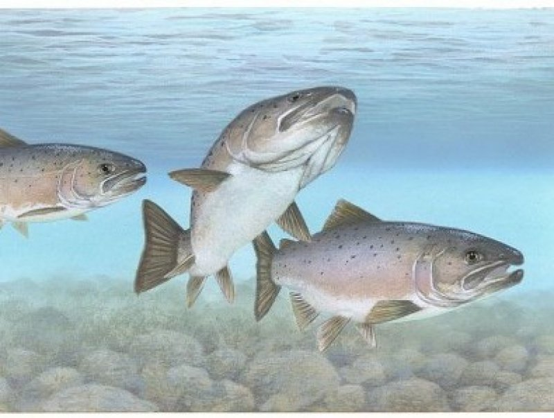 Atlantic salmon Atlantic fish e