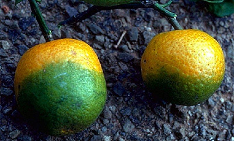 CitrusGreening