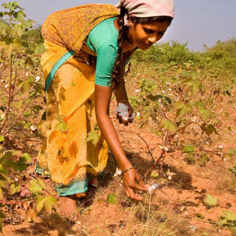 Cotton picking in India e