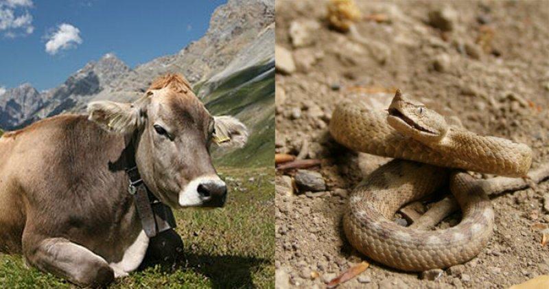 Cow viper