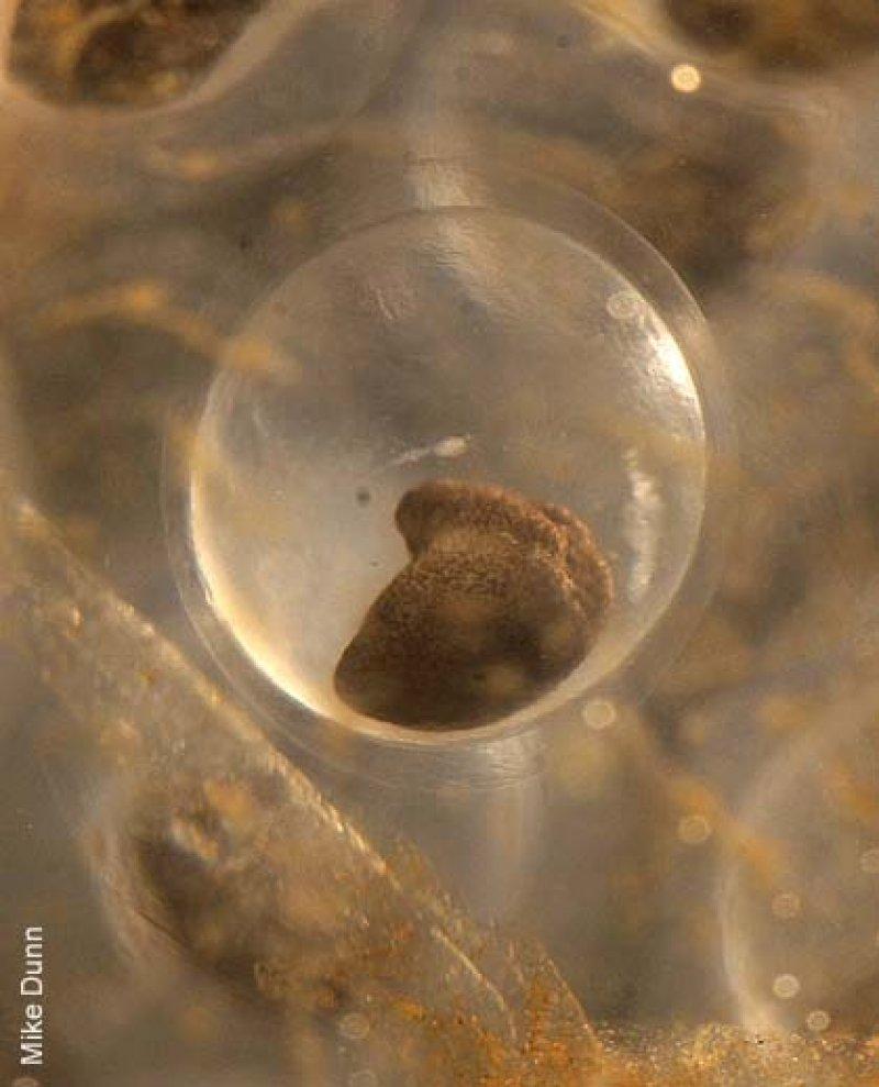 Early Embryo