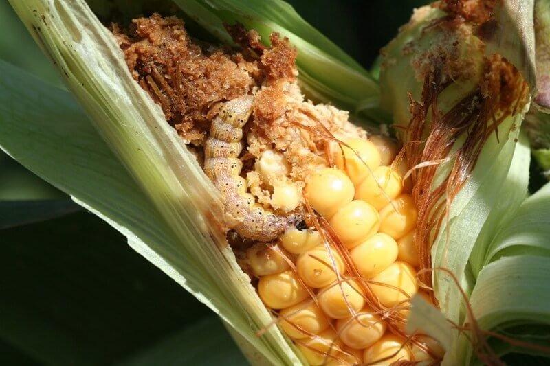 H zea épi maïs bis