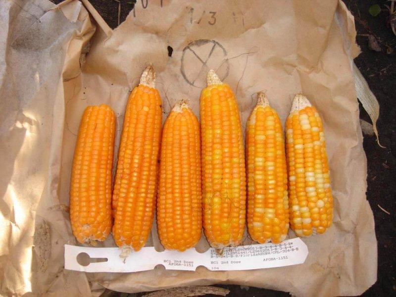 HarvestPlus orange maize web