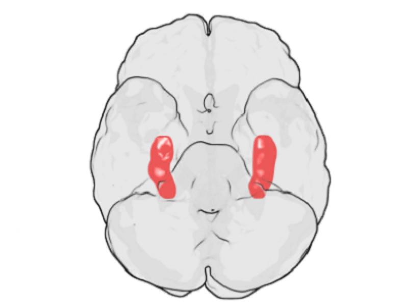 Hippocampus e