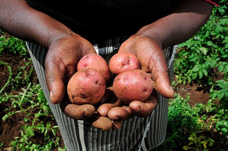 Potatoes from a Kenyan farm