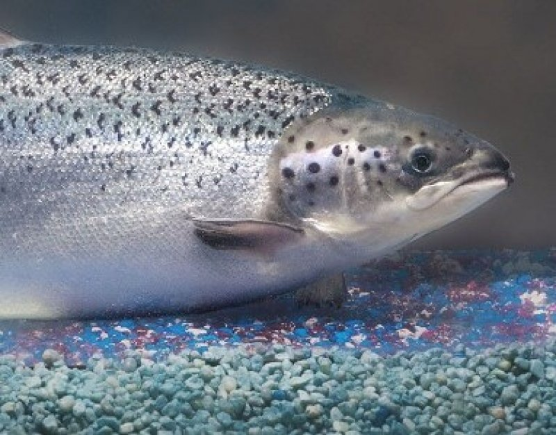 Transgenic Salmon e