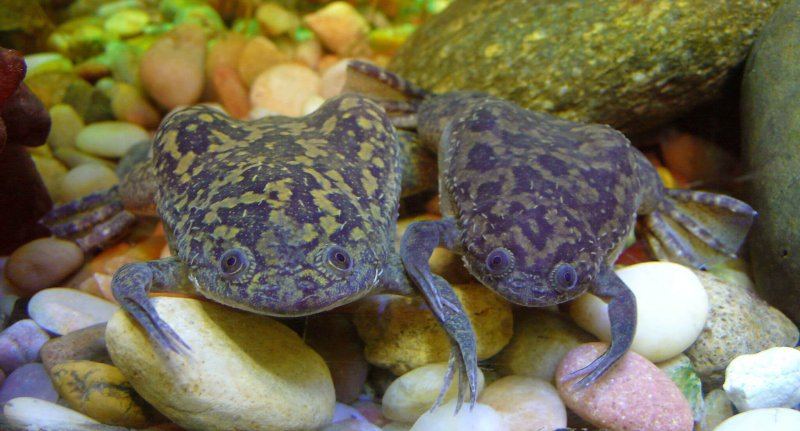 Xenopus laevis by Tim Vickers