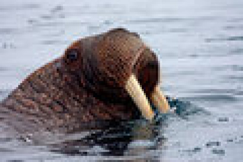 bd walrus portrait