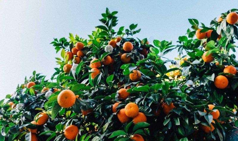 bg oranges x