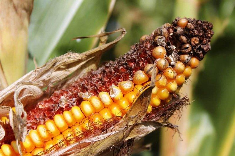 bt corn