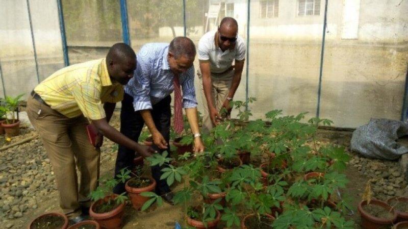 burundi cassava