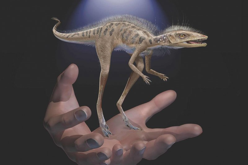 An illustration of Kongonaphon kelly, with human hands for reference. Credit: American Museum of Natural History