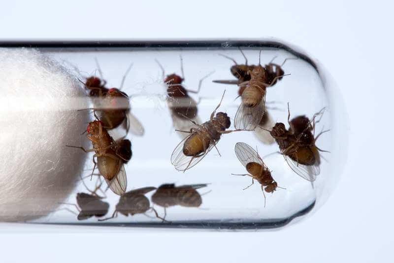 c drosophila fruit flies in a test tube spl x