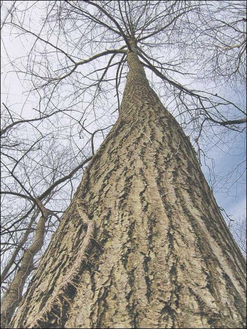 chestnut tree ohio