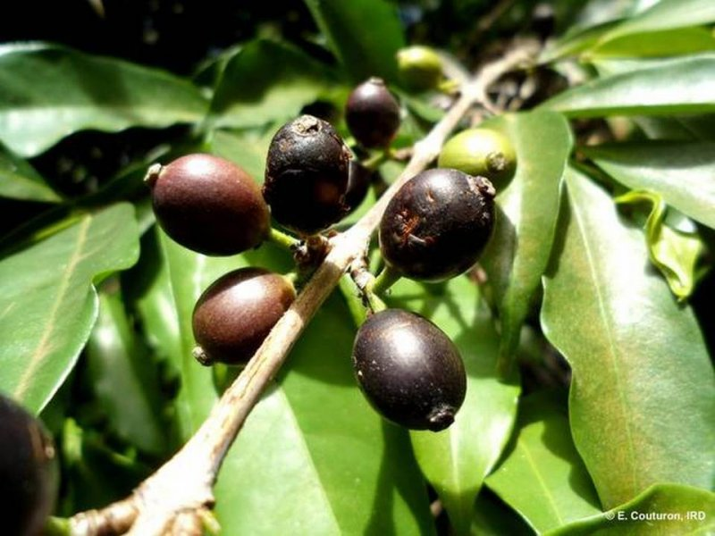 The coffee species Coffea stenophylla, bears black fruit   Credit: E. Couturon/IRD/Handout/Reuters