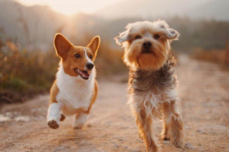 corgi and terrier running