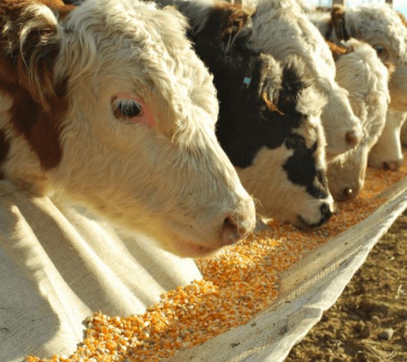 corn cow