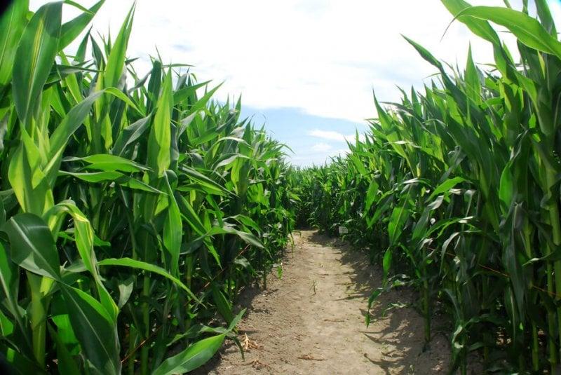cornfields