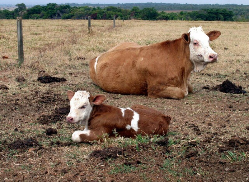Gloria, the first baby cow of cloned cow Vitoria, is seen on a government farm outside Brasilia, in October 2004, about a month after she was born. Credit: Reuters